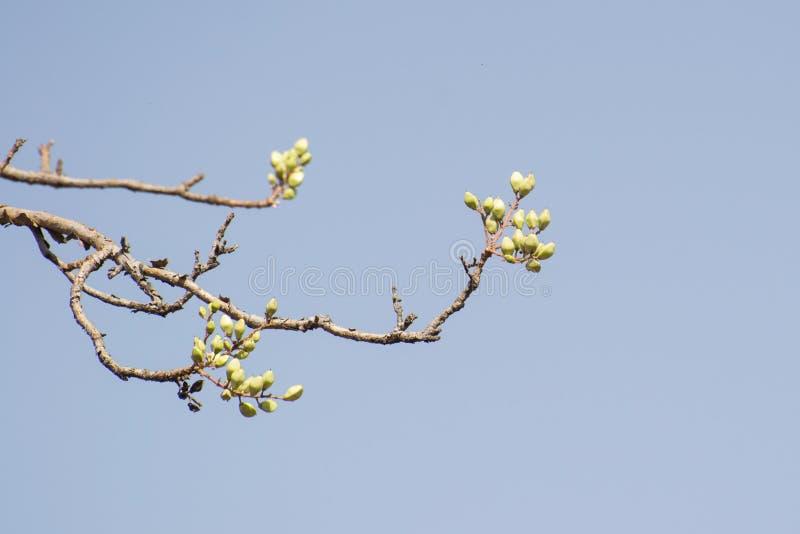 Frutos de árvore indianos de Salai do incenso imagem de stock royalty free