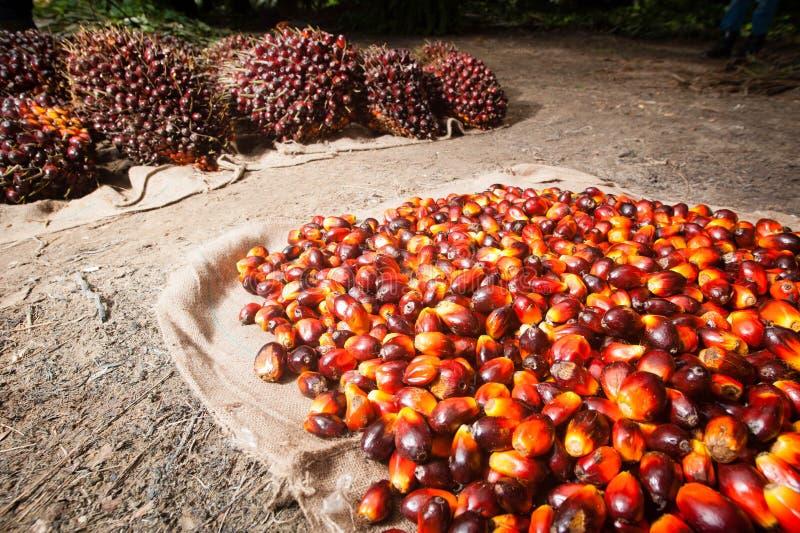 Frutos de óleo da palma imagem de stock royalty free