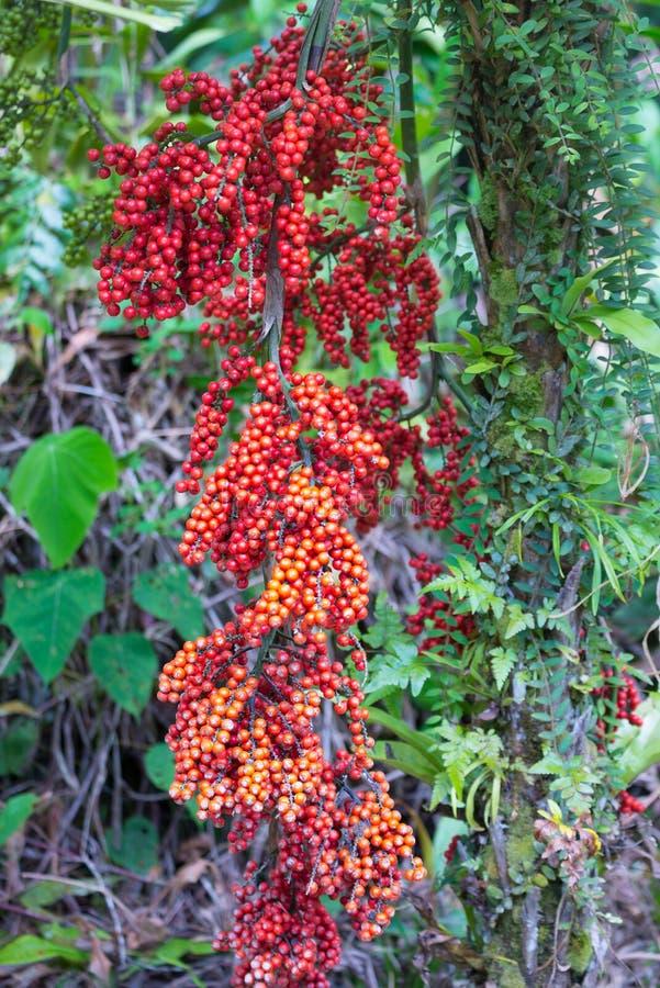 Frutos de óleo novos vermelhos da palma que penduram da árvore imagens de stock