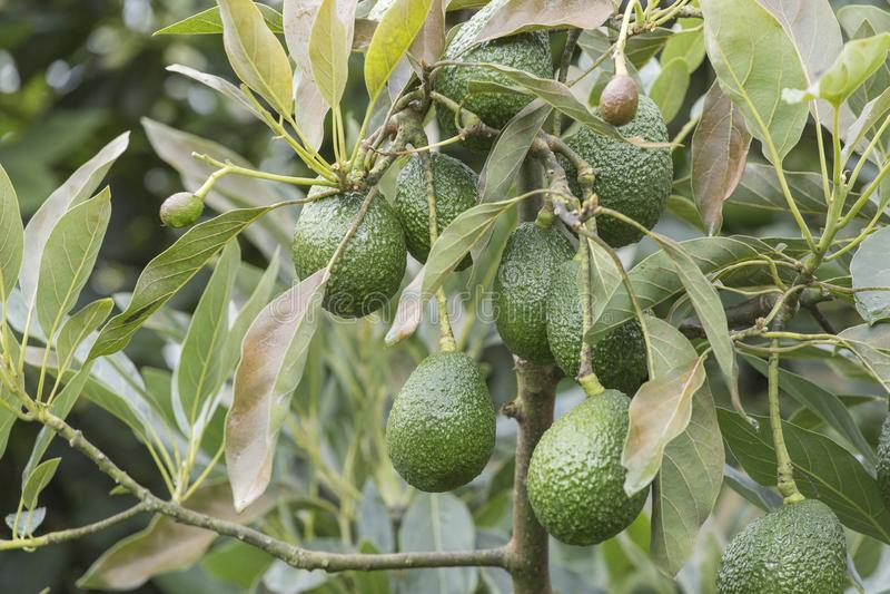 Frutos de abacate na árvore pronta para o abacate de Hass da colheita fotos de stock royalty free