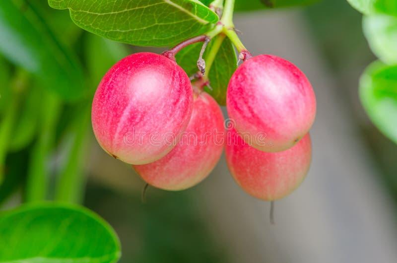 Frutos de Karonda ou de Carunda imagens de stock royalty free