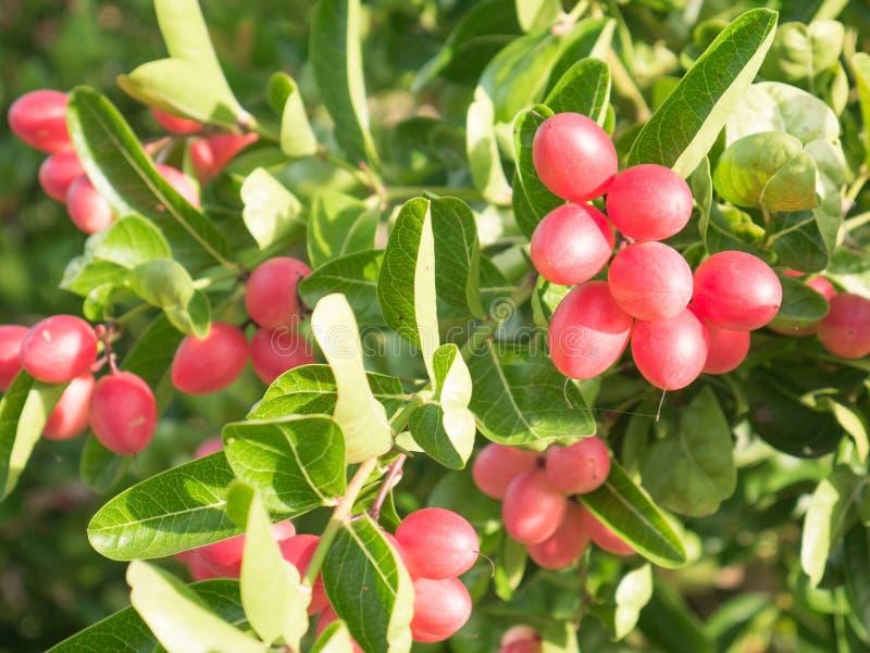 Frutos de Karonda ou de Carunda na árvore foto de stock