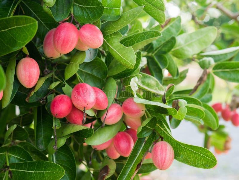 Frutos de Karonda ou de Carunda na árvore fotografia de stock