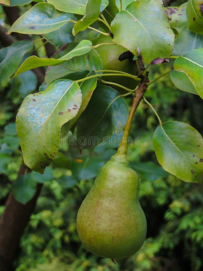 Frutos de pera verdes não amadurecidos numa árvore fotografia de stock royalty free