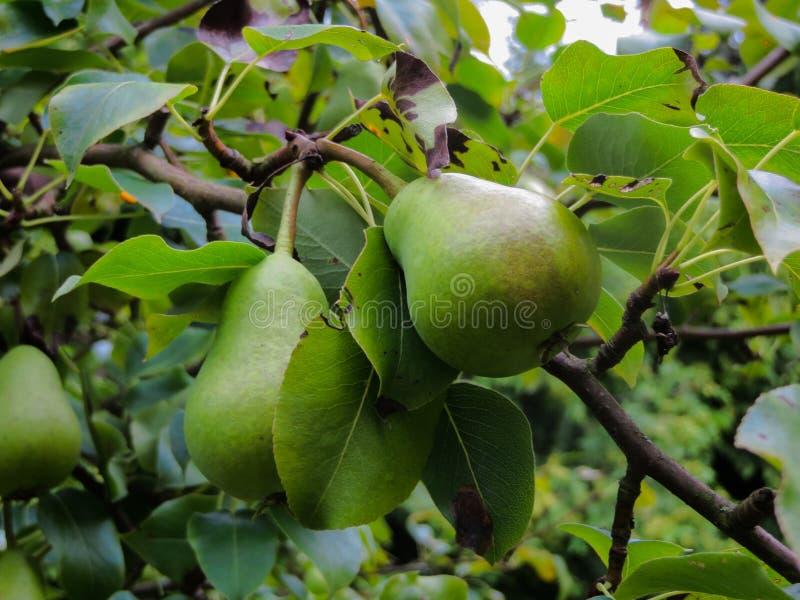 Frutos de pera verdes não amadurecidos numa árvore imagem de stock
