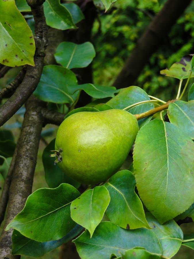 Frutos de pera verdes não amadurecidos numa árvore foto de stock royalty free
