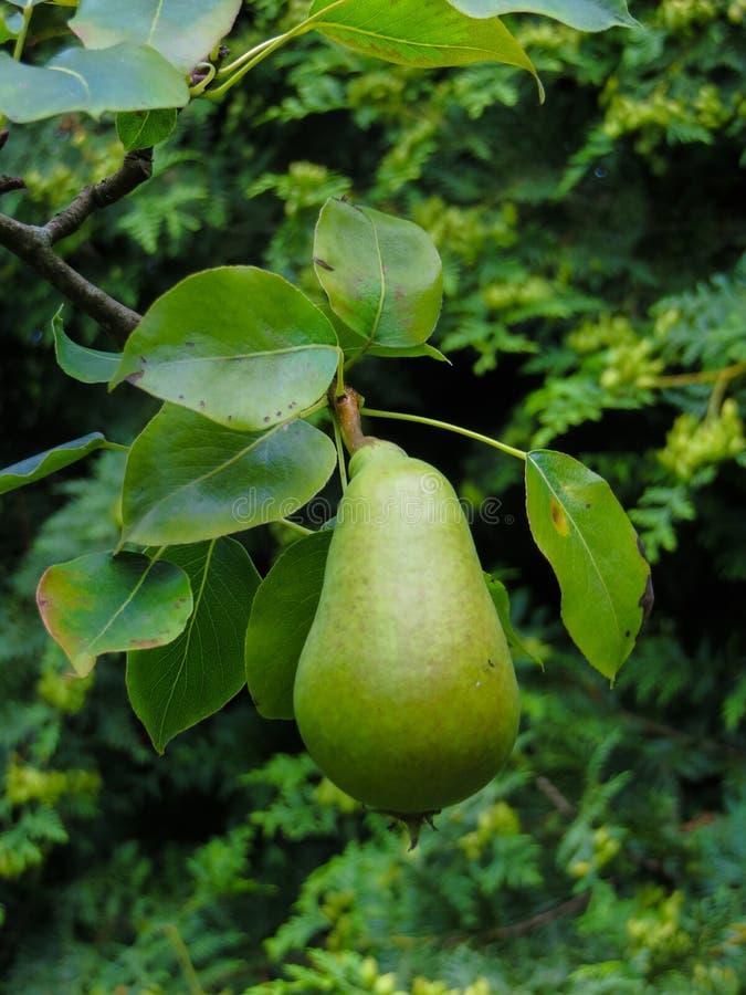 Frutos de pera verdes não amadurecidos numa árvore imagens de stock royalty free