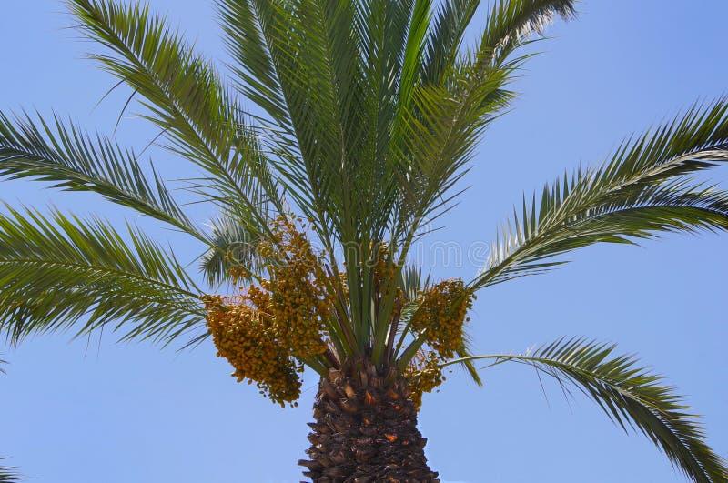 Frutos de uma palmeira fotos de stock royalty free