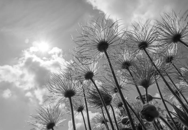 Frutos do apiifolia do alpina do Pulsatilla da an?mona alpina em um fundo do c?u azul com nuvens Rebecca 36 foto de stock