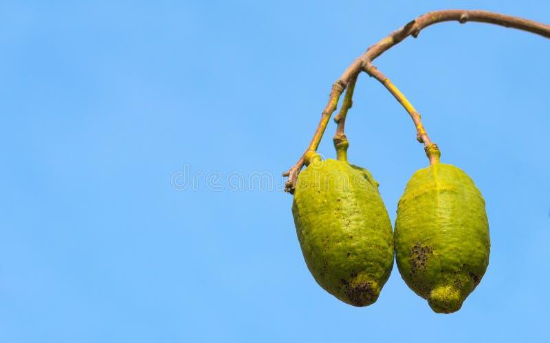 Frutos do Baobab imagem de stock