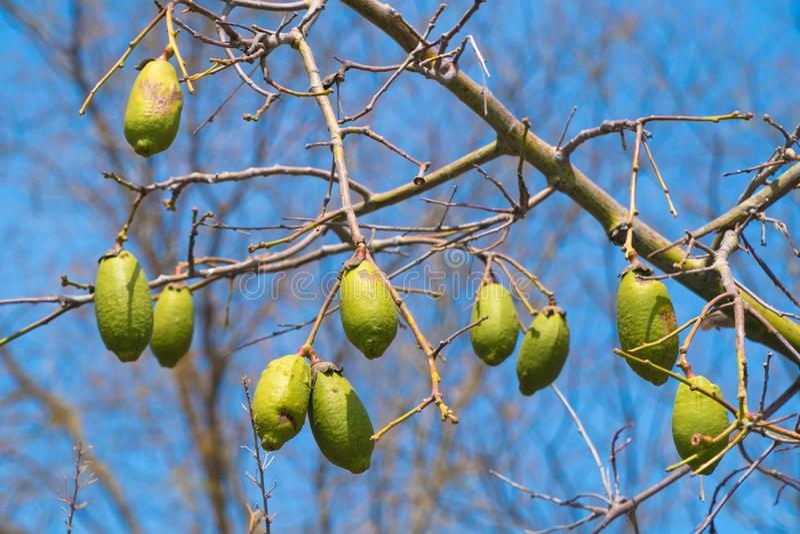 Frutos do Baobab nos ramos imagens de stock