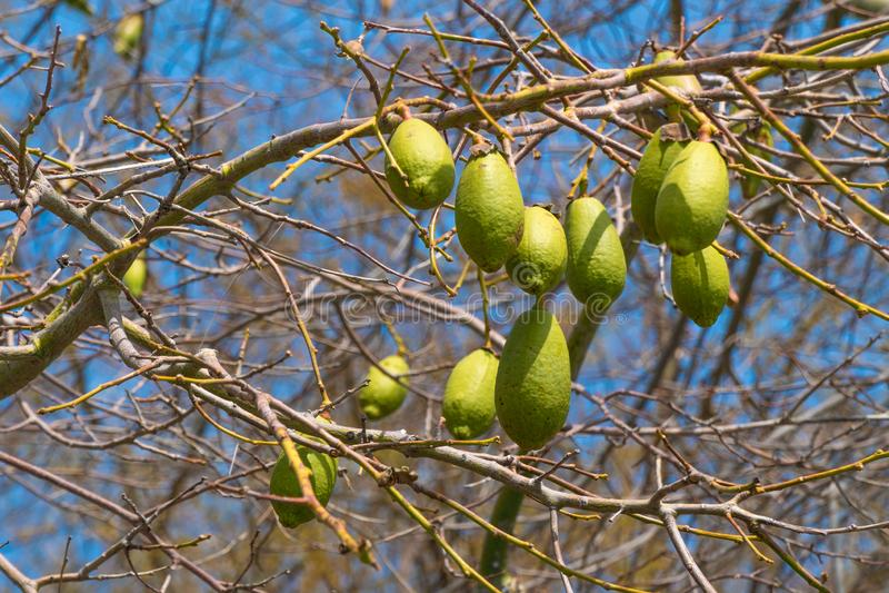 Frutos do Baobab nos ramos imagem de stock royalty free