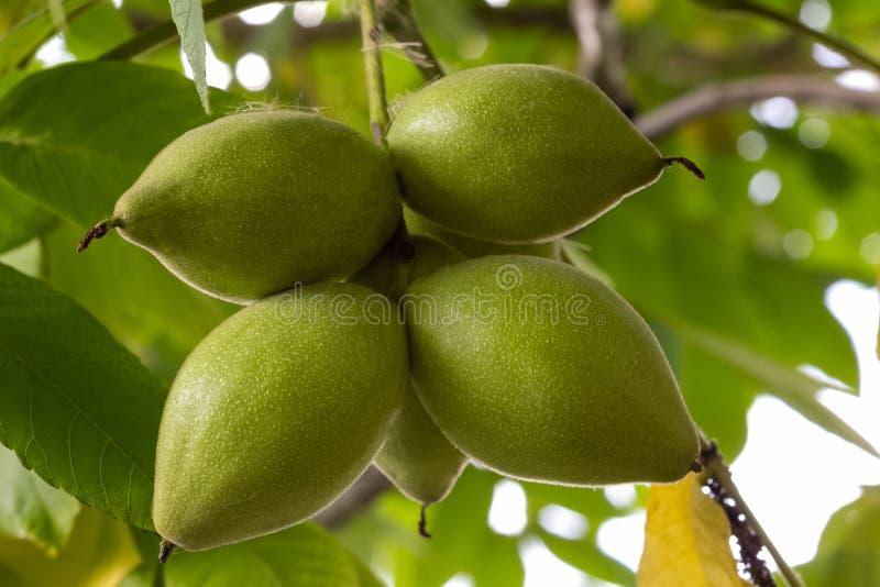 Frutos do cair do manzhur ou da noz na árvore com um grande grupo imagens de stock