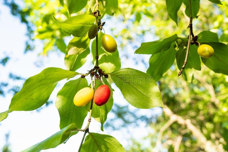 frutos do close-up da árvore de corniso da cereja de cornalina fotografia de stock royalty free