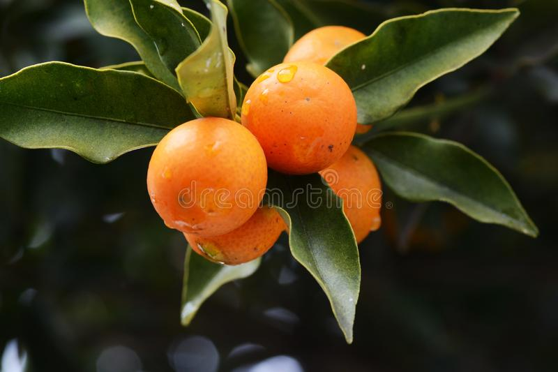 Frutos do Kumquat fotos de stock royalty free