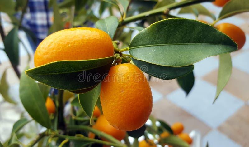 Frutos do Kumquat na árvore imagens de stock