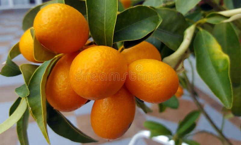 Frutos do Kumquat na árvore imagem de stock royalty free