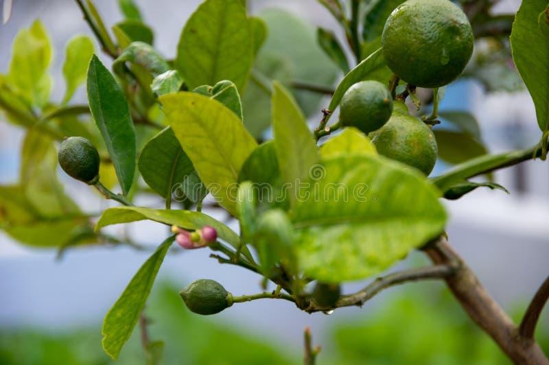Frutos do limão, árvore de limão e flores do limão em minha parte 7 do jardim imagem de stock royalty free