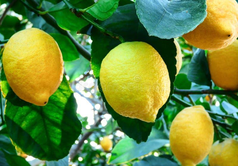 Frutos do limão na árvore no jardim fotos de stock royalty free