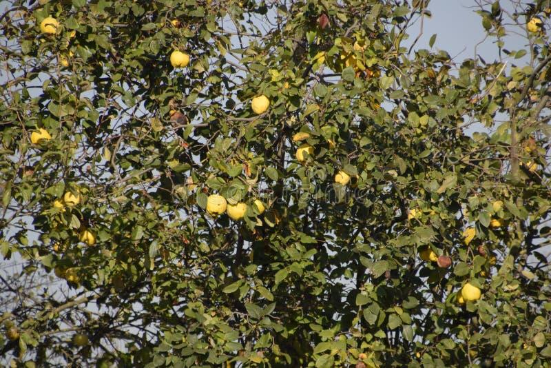 Frutos do marmelo nos ramos da árvore, outono atrasado no jardim, frutos atrasados do marmelo imagem de stock royalty free