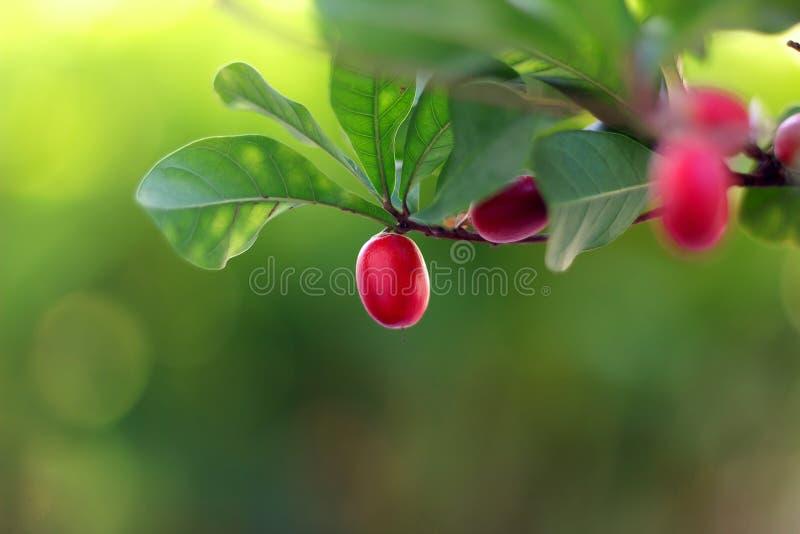 Frutos do milagre fotografia de stock