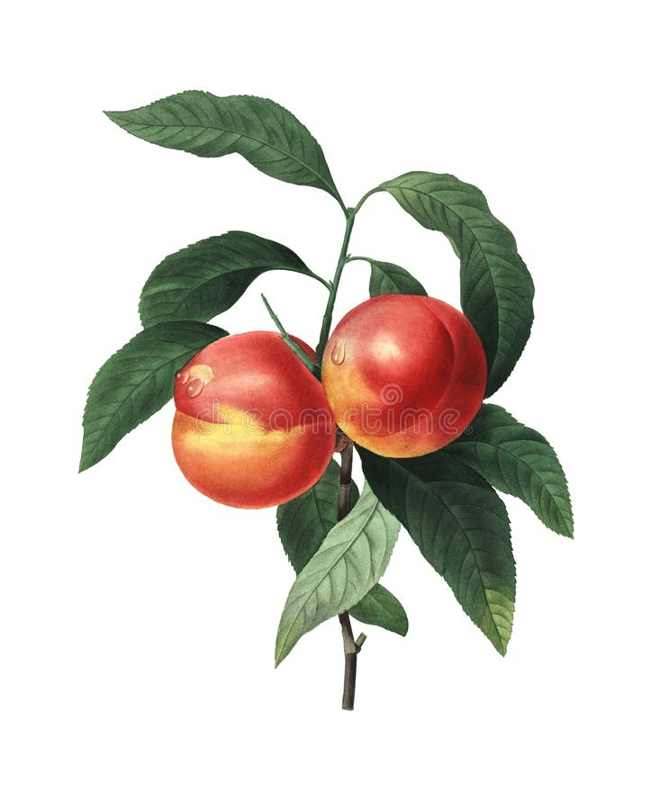 Frutos do pêssego   Ilustrações antigas da flor ilustração do vetor