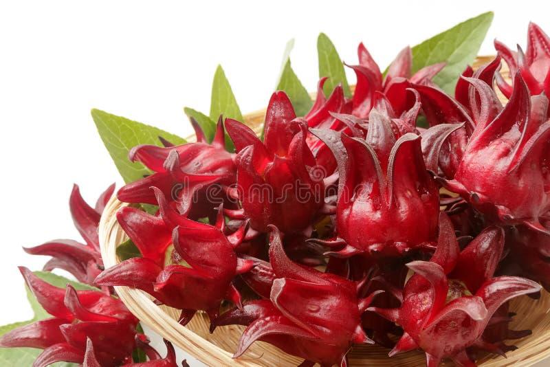 Frutos do sabdariffa ou do roselle do hibiscus isolados no backgrou branco fotografia de stock