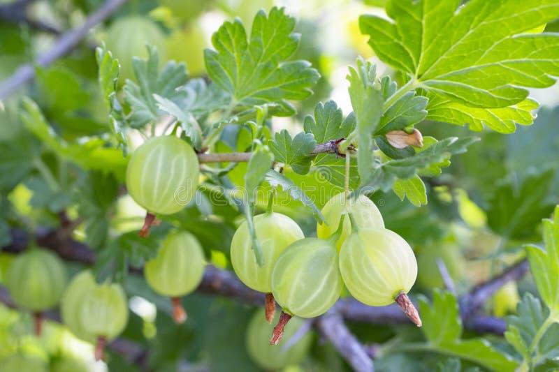 Frutos do uva-crispa do Ribes da groselha em uma natureza do arbusto do ramo Ribes verde maduro do Grossulariaceae das bagas com  imagem de stock royalty free