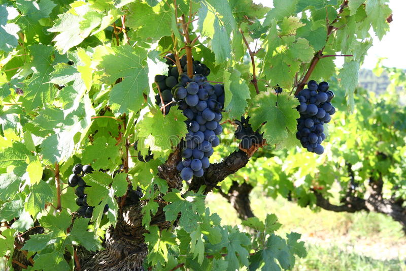 Frutos do vinho foto de stock royalty free