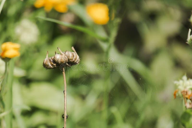 Frutos dos officinalis do Calendula fotos de stock royalty free