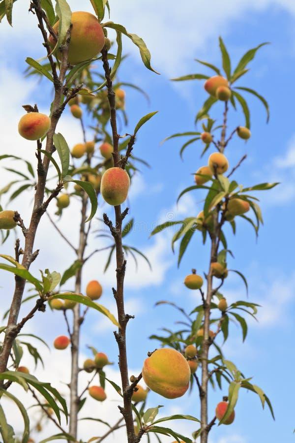 Download Frutos dos pêssegos imagem de stock. Imagem de filial - 29831337