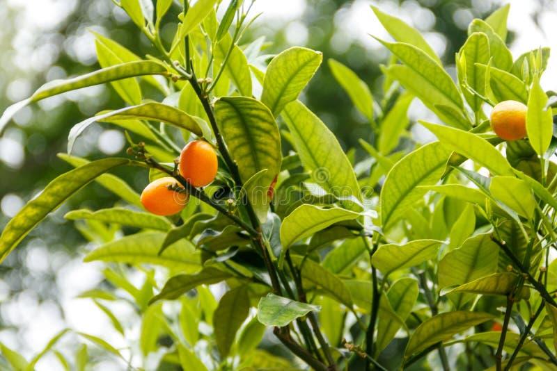Frutos e folha maduros do margarita do citrino do kumquat oval ou do kumquat de Nagami ou do margarita do Fortunella fotografia de stock royalty free
