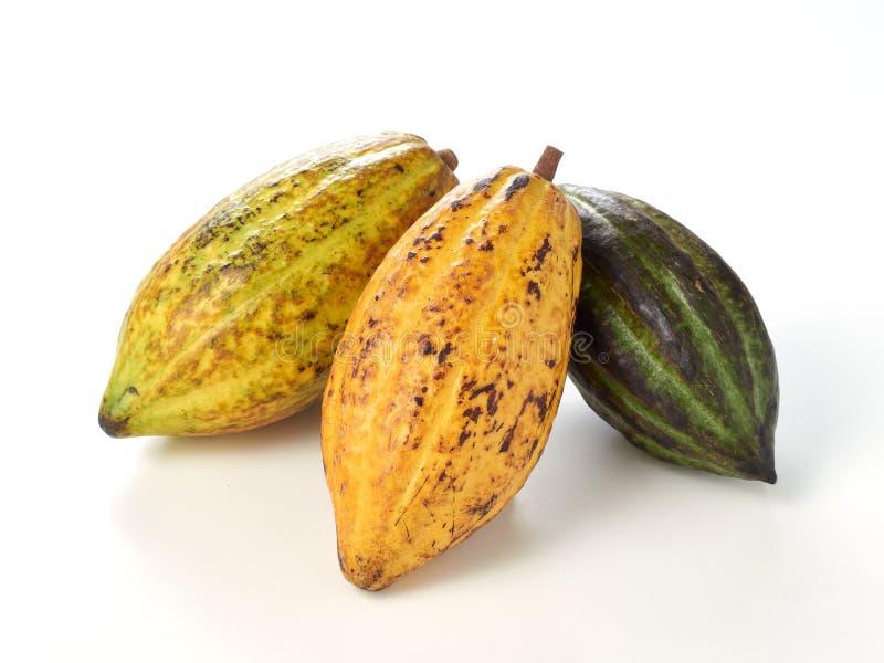 Frutos frescos do cacau foto de stock