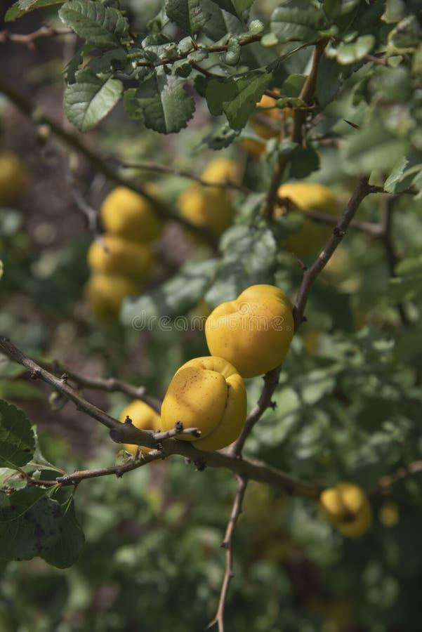 Frutos maduros de um japonica japonês Thunb do Chaenomeles do marmelo lindl Spach ex em um ramo fotografia de stock royalty free