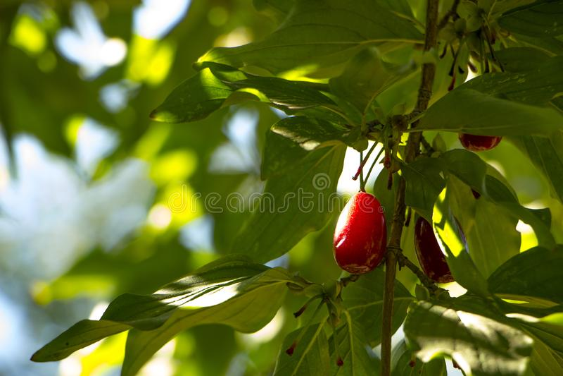 Frutos maduros do mas do Cornus das cerejas de cornalina como um fundo foto de stock royalty free