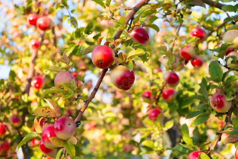 Frutos maduros vermelhos das maçãs no fundo do céu do ramo outono da colheita de maçãs Jardinagem e colheita Maçã etiquetada orgâ imagens de stock