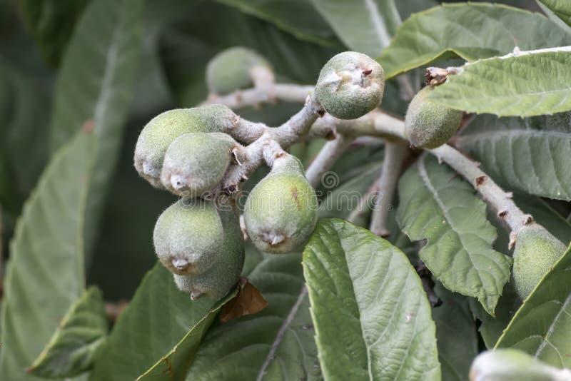 Frutos novos verdes verdes na árvore de Loquat na estação do inverno no mediterrâneo foto de stock
