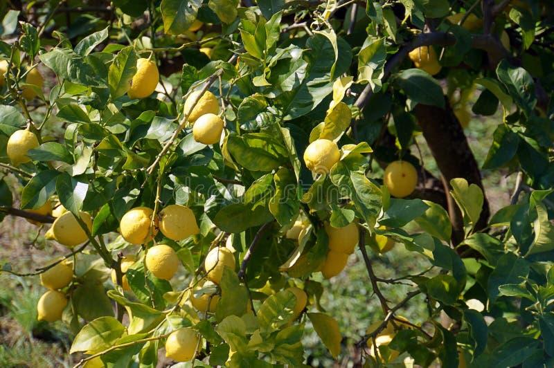 Frutos que penduram dos ramos de árvore do limão fotografia de stock