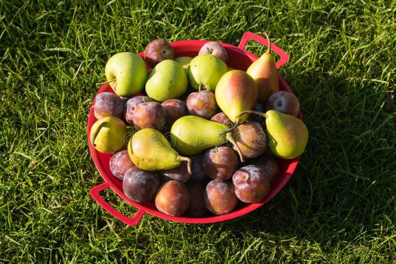 Frutos recentemente escolhidos em uma bacia imagem de stock