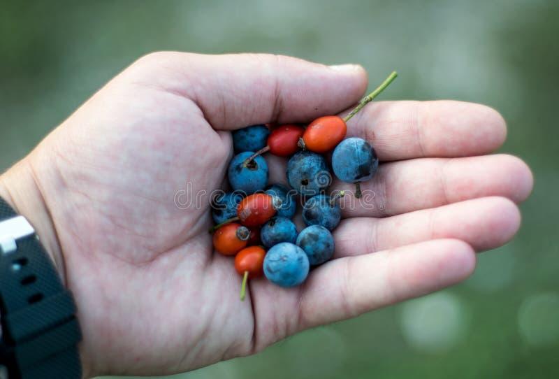 Frutos rojos y azules en los campos, en la palma imagen de archivo