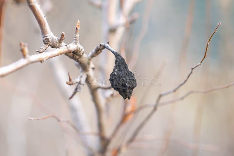 Frutos secos negros de la pera que permanece en el árbol hasta otoño, no cosechados fotografía de archivo