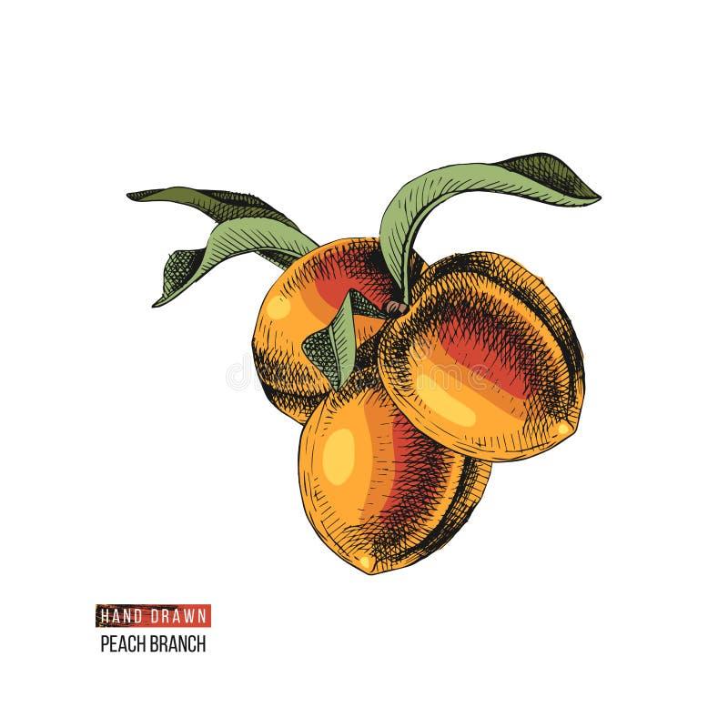 Frutos tirados mão do pêssego ilustração royalty free