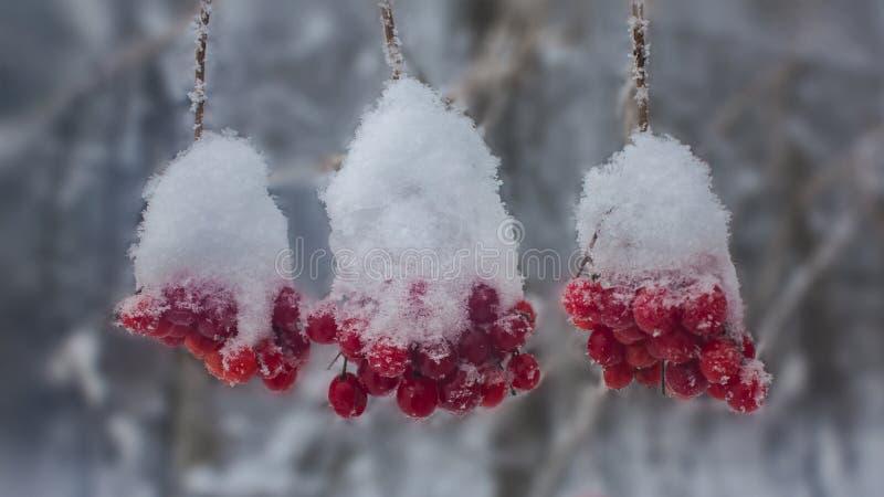 Frutos vermelhos do arando sob a neve imagem de stock