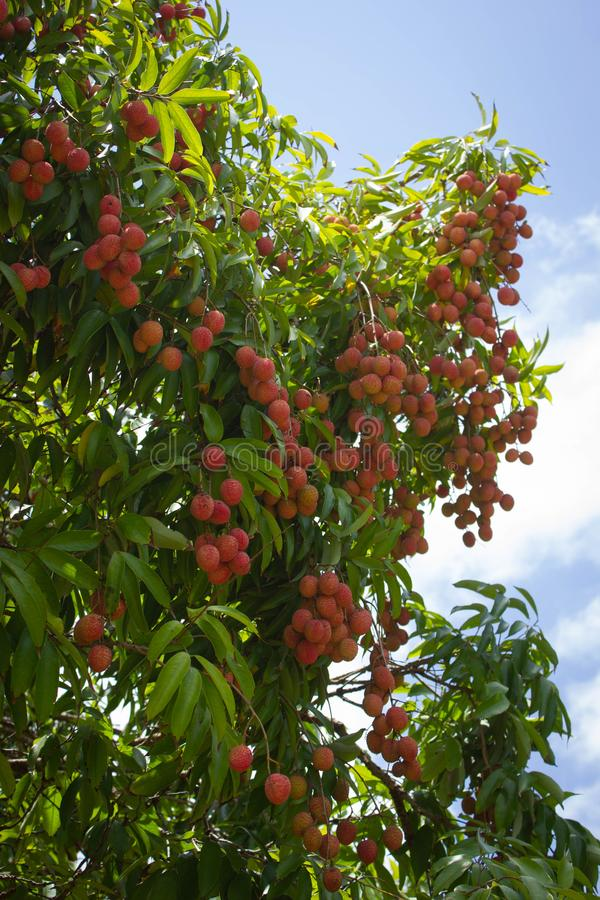 Frutos vermelhos do lichi na árvore imagens de stock royalty free