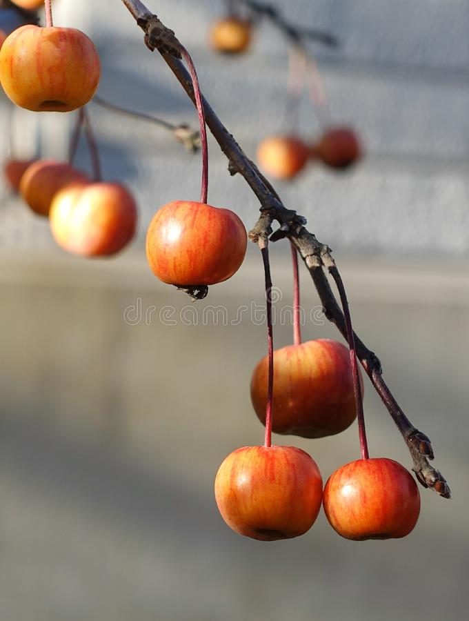 Frutos vermelhos pequenos em um ramo no outono no Sun fotografia de stock royalty free