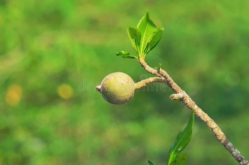 Frutta americana di Genipa sull'albero di Jenipapeiro fotografie stock libere da diritti