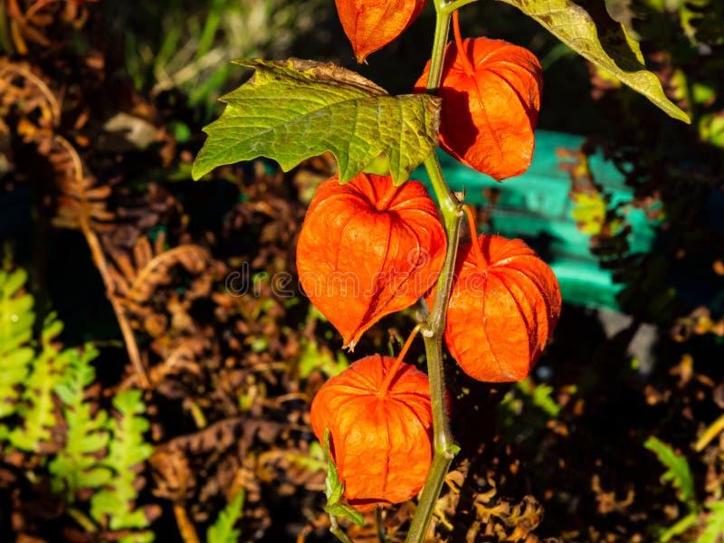 Frutta cinese delle lanterne di alkekengi del Physalis sulla macro di autunno del gambo, fuoco selettivo, DOF basso fotografia stock libera da diritti