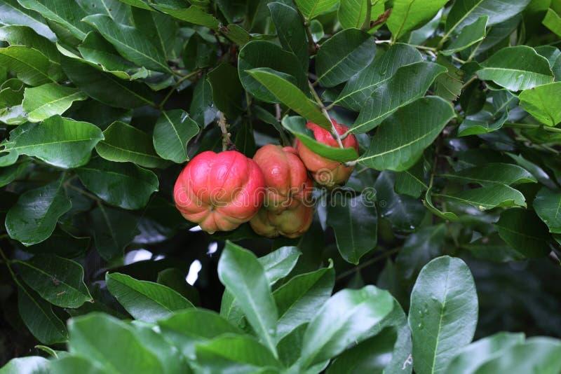 Frutta del Ackee fotografia stock