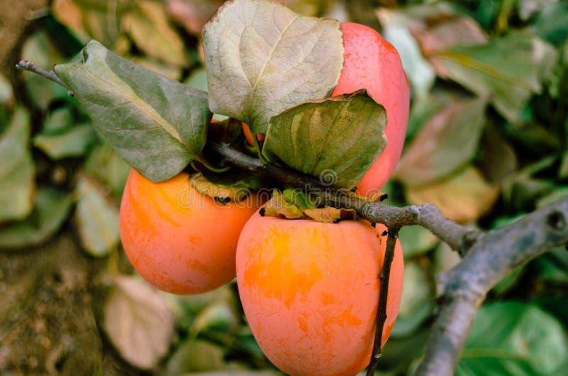 Frutta del cachi sull'albero immagine stock libera da diritti