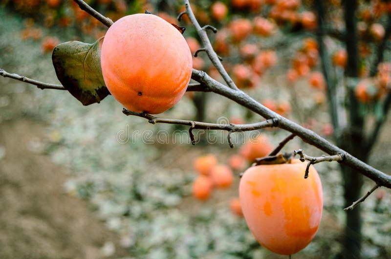Frutta del cachi sull'albero fotografie stock